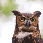 Photographing Owls, Hawks, Raptors