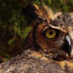 Exploring Natural Alabama: Our Amazing Owls