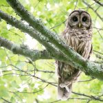 Exploring Natural Alabama: Our Amazing Owls