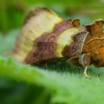 Natural History of Moths--Tales of Arms Races, Thievery, Microbiomes & Parasites