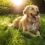 Major Training For Emotional Support Pet Dogs