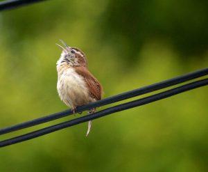 Alabama's Breeding Bird Songs