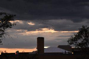 Audubon at Home: Chimney Swifts