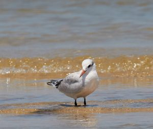 Audubon at Home: Changing Colors—Shorebirds and Terns