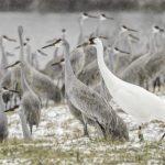 Audubon at Home: Cranes