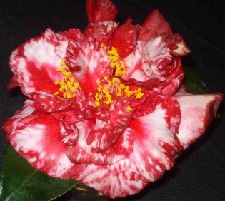 Birmingham Camellia Show