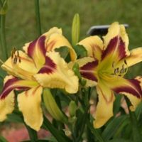 Annual Central Alabama Daylily Society