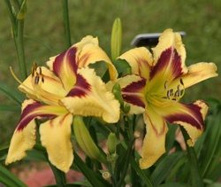Central Alabama Daylily Society